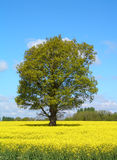 Tree in Yellow Rape Field Royalty Free Stock Image