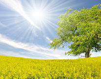 Tree in the rapeseed field Stock Photography