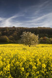Tree and rapeseed field, Chinon, France. Stock Images