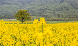 Tree and Rapeseed Field III Royalty Free Stock Photos