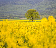 Tree and Rapeseed Field IV Stock Photo