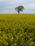 Tree  on a rapeseed field Royalty Free Stock Image