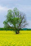 Tree and raps field. Raps field and tree after the rain Royalty Free Stock Photos