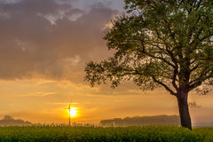 Tree on a raps field. At sunrise Royalty Free Stock Images
