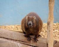 Tree rat Stock Images