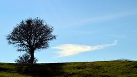 The tree, the raven and the cloud. Capture of a beautiful bare wild pear tree with a raven and a nest stock photos