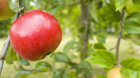 Tree with red apple. Beautiful red apple on tree in garden, shot in RAW stock video footage