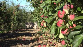 Tree with red apple fruit harvest in orchard. Focus change. 4K stock footage
