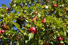 Tree with red apples. Tree with beautiful red apples Royalty Free Stock Image