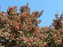 Tree with Red Berries Royalty Free Stock Image