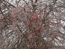 Tree with red berries covered with icicles Stock Image