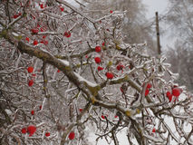Tree with red berries covered with icicles Royalty Free Stock Photo