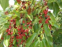 Prunus Serotina Tree with Fruit. stock photography
