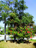 Tree with red flower Hibiscus. Plant tree with red flower called Hibiscus Stock Images
