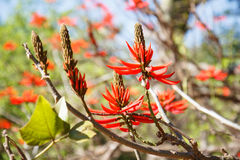 Tree with red flowers, erythrina, coral tree Royalty Free Stock Photography