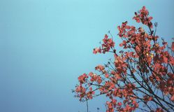 Tree with red foliage against a blue sky royalty free stock photos