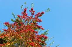 Tree red fruit of many ripe Royalty Free Stock Photos