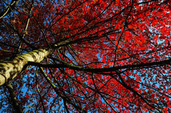 Tree red leafs Royalty Free Stock Photo