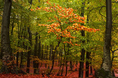 Tree with red leaves during autumn Royalty Free Stock Photography
