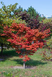 Tree with red leaves Stock Images