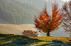 Tree with red leaves on hillside Royalty Free Stock Image