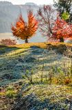 Tree with red leaves on hillside. Blurred background with frozen grass in front. beautiful scenery on hazy autumnal morning in countryside Royalty Free Stock Photo