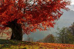 Tree with red leaves on hillside Royalty Free Stock Photography