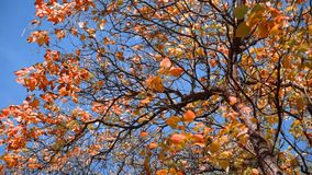 Tree with red leaves stock video footage