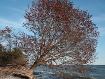 Uprooted tree in fall colors leaning over Lake Ontario stock photo