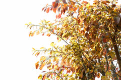 Tree with red leaves on white background Royalty Free Stock Image