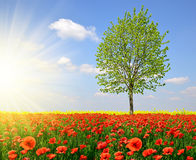 Tree with red poppy field. Royalty Free Stock Images