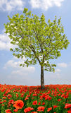 Tree with red poppy field. Stock Images