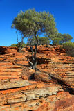 Tree on red rocks. Small tree with green foliage set against blue sky and red rock in Australian landscape Stock Photography