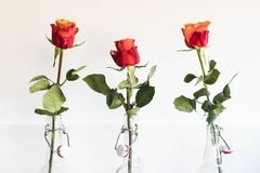 Red orange rose in beer bottle, against white background stock photography