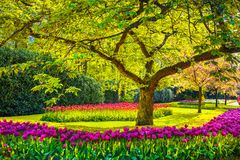 Tree and tulip flowers in spring garden. Keukenhof, Netherlands, Europe. stock photography