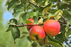 Tree with red and yellow apples Stock Photo
