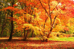 Tree with red and yellow leaves Stock Photo
