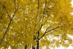 Tree with red and yellow leaves on a sunny autumn day . Tree with red and yellow leaves on a sunny autumn day Royalty Free Stock Images