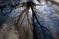 Tree reflected in puddle stock photo