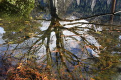 Tree reflected in still pond. Bare tree reflected perfectly in still waters of pond Stock Photos
