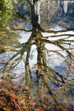Tree reflected in still pond. Bare tree reflected perfectly in still waters of pond Stock Image