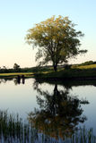 Tree Reflection. A tree is reflected in a still pond at sunset stock photo