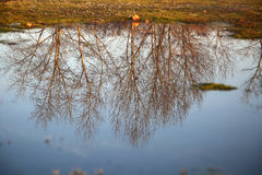 Tree reflection on water surface. In autumn Royalty Free Stock Photo
