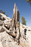Tree Remains. Old tree remains on half dome yosemite california stock image