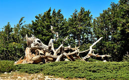 Remains,tree,carbonized,slaughter. Remains of burnt tree on the italian mountains Stock Photo