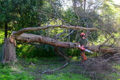Tree removal. Tree cutter cutting up old dead tamarack larch tree royalty free stock photo
