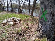 Tree Removal, Dead Tree Marked With An X. A tree near the Passaic River in Memorial Park in Rutherford, NJ, is marked with a large green X, indicating that it is stock image