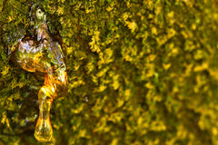 Tree resin Royalty Free Stock Images