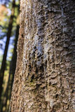 On a tree resin. Resin on a tree in the forest stock photography