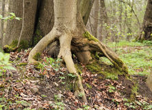 Tree with revealed roots Stock Photos